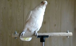 Frostie The Dancing Cockatoo