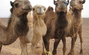Camelfest 2011 is Coming to Hoboken
